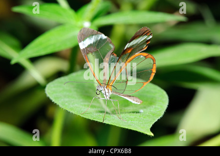 Closeup of fragile butterfly on a leaf. - Stock Photo