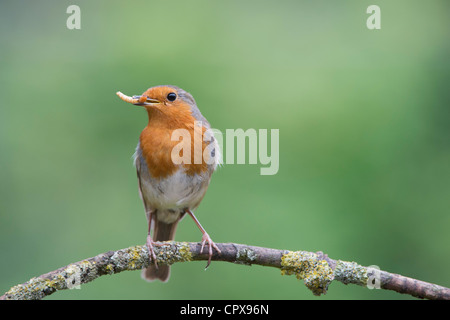 Robin perched on a branch with a mealworm in its beak - Stock Photo