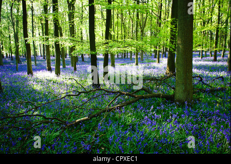 Bluebells in full bloom covering the floor in a carpet of blue in a beautiful beach tree woodland in Hertfordshire, - Stock Photo