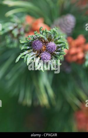Pinus mugo. Swiss mountain pine or Mugo Pine - Stock Photo