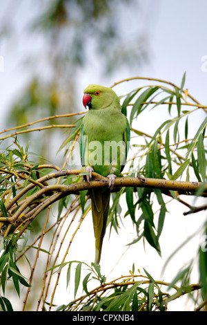 Ring-necked parakeet, Psittacula krameri, single bird on branch, London, May 2012 - Stock Photo