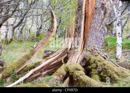 Trees in woodland on the Isle of Eigg that were blown over by hurricane force winds in December 2011 - Stock Photo