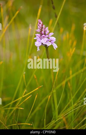 Pyramidal Wild Orchid wildflower, Anacamptis Pyramidalis, near Watendlath in the Lake District National Park, Cumbria, - Stock Photo