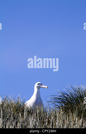 Adult Wandering Albatross, Prion Island, South Georgia - Stock Photo