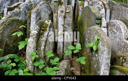 Headstones tightly packed round the Thomas Hardy Tree Old St Pancras Churchyard London England Europe - Stock Photo
