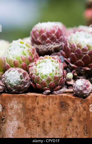 Sempervivum 'Spiders Lair' growing in an old brick. - Stock Photo