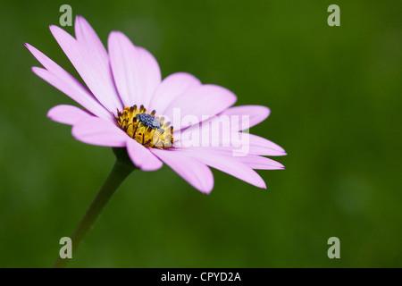Osteospermum jucundum 'Killerton Pink' flower in the garden. Cape daisy. African daisy. - Stock Photo