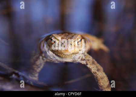 Common Toad (Bufo bufo) in the water, Highlands, Scotland, UK - Stock Photo