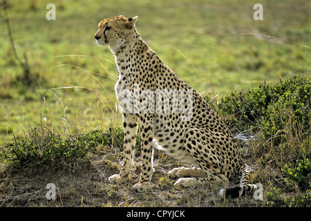 Kenya, South-West, Masai Mara Nature Reserve, a cheetah (Acinonyx jubatus) lies in wait to get its prey - Stock Photo