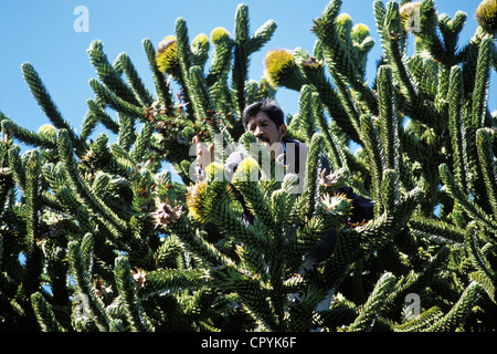 Chile, Araucania Region, Quinquen valley, harvest of the nut at the top of an Araucaria tree by the Pehuenche Indians - Stock Photo