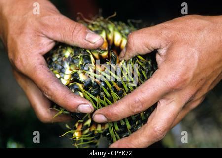 Chile, Araucania Region, Quinquen valley, each Araucaria tree head contains between 200 and 300 nuts - Stock Photo