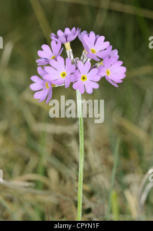 BIRD'S-EYE PRIMROSE Primula farinosa (Primulaceae) - Stock Photo