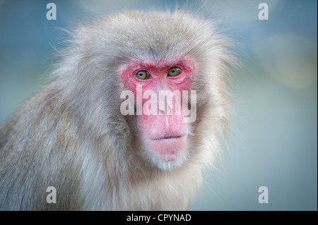 Red-faced Macaque (Macaca fuscata), portrait, Wilhelma zoological botanical garden, Stuttgart, Germany, Europe - Stock Photo