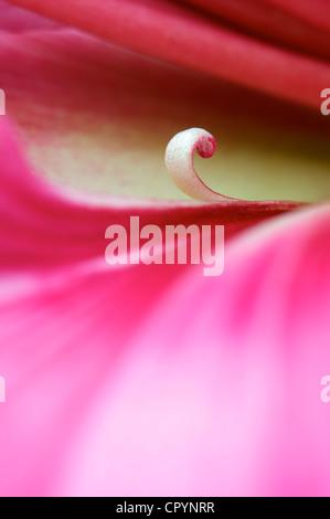blooming Hippeastrum Vittatum close up shot by macro lens - Stock Photo