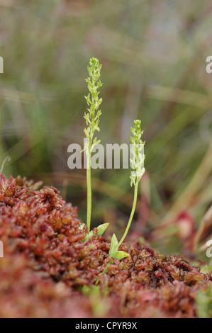 BOG ORCHID Hammarbya paludosa (Orchidaceae) - Stock Photo