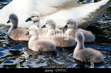 A group of six mute swan cygnets swimming with their mother, Britain. - Stock Photo