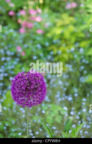 Allium hollandicum 'Purple Sensation'. Ornamental Onion flower in front of Forget me Not flowers - Stock Photo