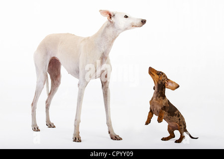 Pied short-hair dachshund puppy and white greyhound, Galgo Español - Stock Photo