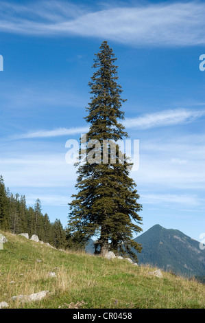 Norway spruce (Picea abies), solitary free-standing old, big and tall tree, Soin-Alm alpine pasture and Mt. Grosser - Stock Photo