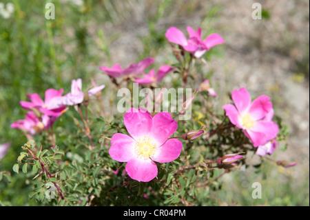 Rosa Canina or Dog Rose (Rosa canina), flowers, Keylong, Lahaul and Spiti district, Himachal Pradesh, India, South - Stock Photo