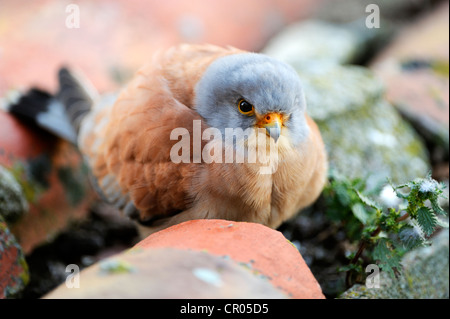 Lesser Kestrel (Falco naumanni), male, sitting outside nestbox - Stock Photo