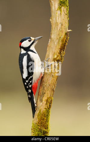 Great Spotted Woodpecker (Dendrocopos major), foraging on tree - Stock Photo