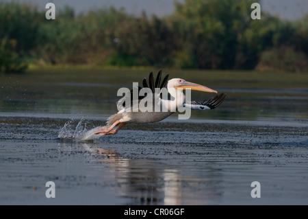 White Pelican (Pelecanus onocrotalus), Danube Delta, Murighiol, Romania, Europe - Stock Photo