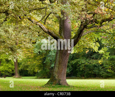 Pedunculate oak, English oak (Quercus robur) in a park - Stock Photo