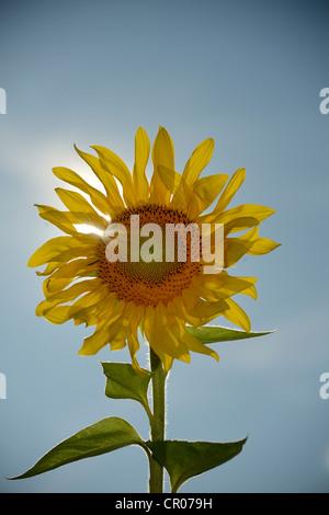 Sunflower (Helianthus annuus) - Stock Photo