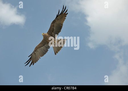 Black kite (Milvus migrans), Landskron Castle, an ornithological station for raptorial birds, Carinthia, Austria, - Stock Photo
