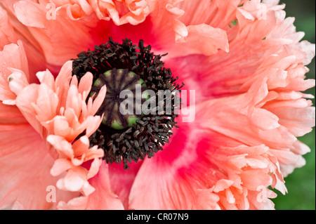 Opium poppy (Papaver somniferum), blossom - Stock Photo