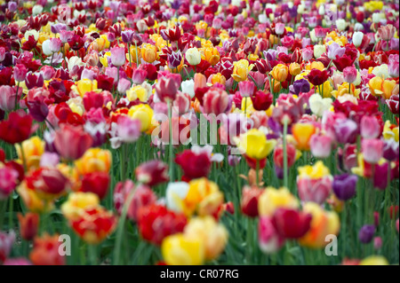 Tulips (Tulipa), tulip field near Freiburg im Breisgau, Baden-Wuerttemberg, Germany, Europe - Stock Photo