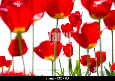 Red tulips (Tulipa) - Stock Photo