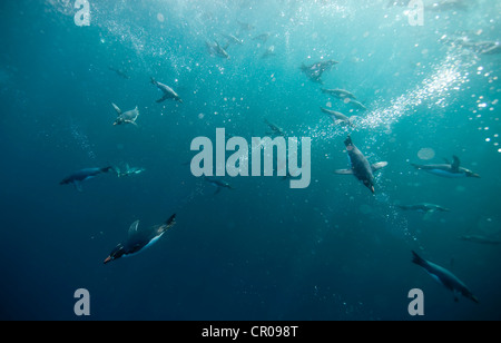 Crested penguins swimming underwater - Stock Photo