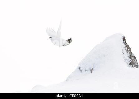 Rock ptarmigan (Lagopus mutus) adult female in flight, in snowy mountain landscape. Cairngorms National Park, Scotland. - Stock Photo