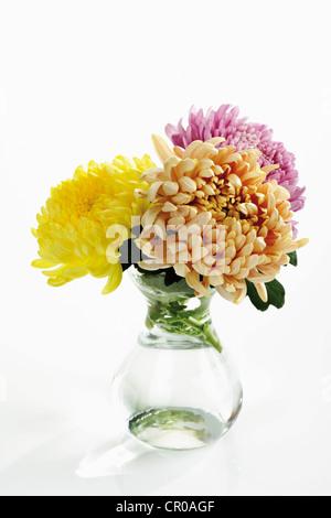 Different Colored Chrysanthemums Chrysanthemum Indicum In Flower