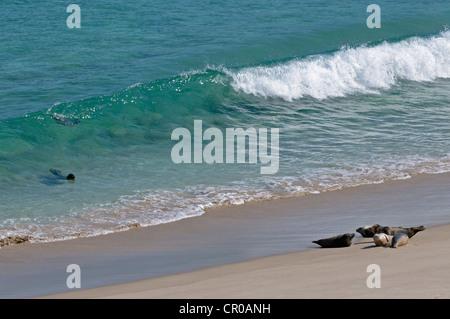 Atlantic grey seals (Halichoerus grypus) surfing on to beach. Western Isles, Scotland. June. - Stock Photo