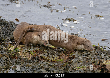 Two Eurasian otters (Lutra lutra) on sea shore, mother and well-grown cub. Shetland Islands. June. - Stock Photo