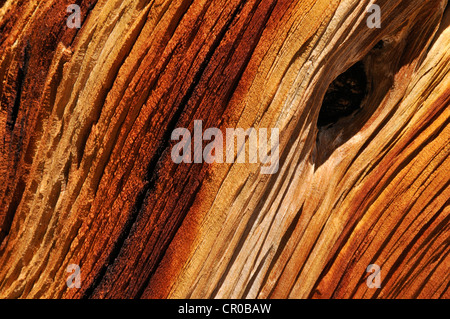 Weathered wood of an ancient Bristlecone pine (Pinus longaeva), Great Basin, Nevada, USA, North America - Stock Photo