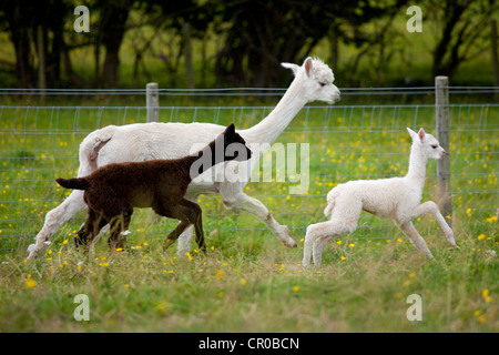 Running Alpaca Stock Photo 104379177 Alamy