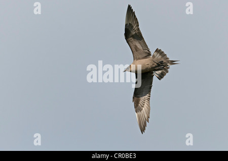 Arctic skua (Stercorarius parasiticus) dark phase adult in flight. Shetland Isles. June. - Stock Photo