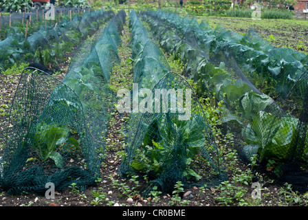 Wire hoops and netting being used as crop protection - Stock Photo