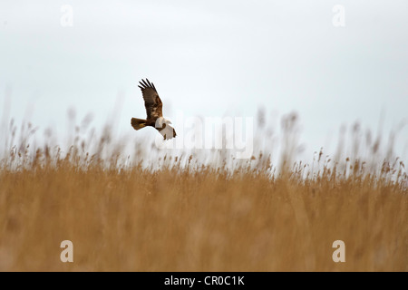 Marsh harrier (Cicus aeruginosus) adult female in flight over reedbed. North Norfolk, England. March. - Stock Photo
