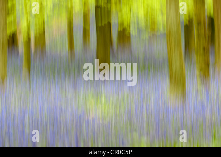 Photographic impression of bluebell woodland in spring. Ashridge Forest in Hertfordshire, England. May.