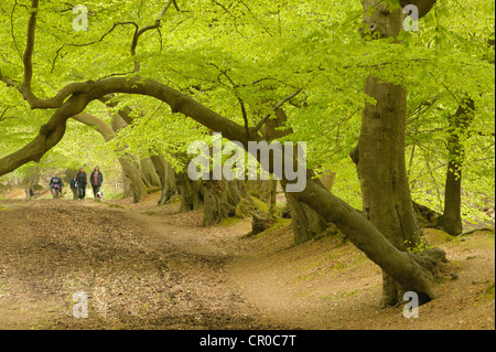 People walking in beech woodland in spring. Ashridge Forest, Hertfordshire, England. May.