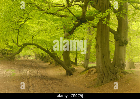 Soft focus view of beech woodland in spring. Ashridge Forest, Hertfordshire, England. May.