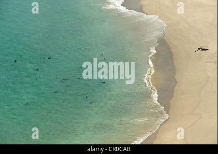 Atlantic grey seals (Halichoerus grypus) coming ashore on beach at island of Mingulay, Western Isles, Scotland. - Stock Photo