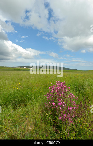Shetland red campion (Silene dioica) in flower near Haroldswick on the island of Unst in the Shetland Isles. June - Stock Photo