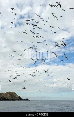 Flock of northern gannets (Morus bassanus) in flight near breeding colony at Muckle Flugga, isle of Unst, Shetland. - Stock Photo