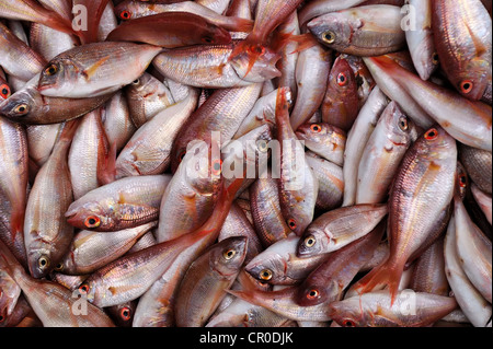 Fresh red sea bream fish background. Photographed in the Israeli market - Stock Photo